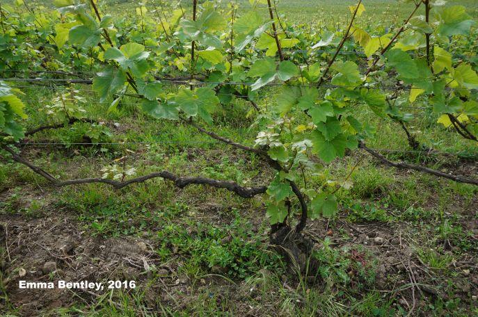 Photo Vineyard Taille Vallée de la Marne (c) Emma Bentley